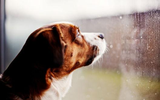Обои Пес смотрит на стекло, по которому стекают капли дождя