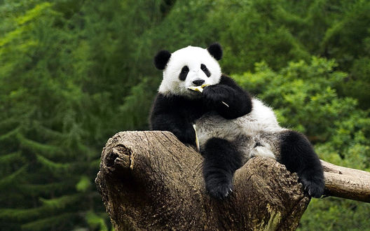 Обои Панда сидит на сломанном дереве и кушает бамбук