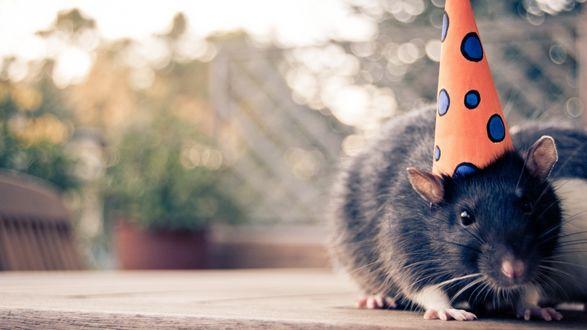 Обои Декоративная крыса сидит на столе в разноцветной шапочке