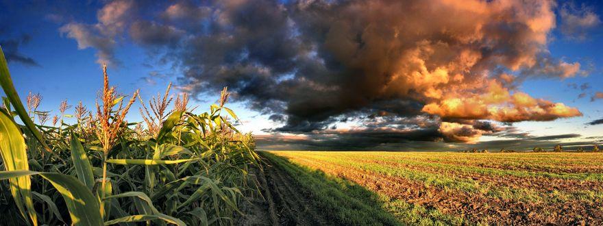 Обои Кукурузное поле и тяжёлые грозовые тучи над ним