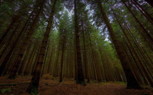 Обои Хвойный лес