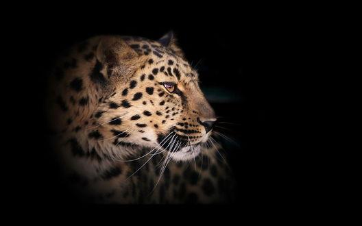 Обои Голова леопарда на темном фоне