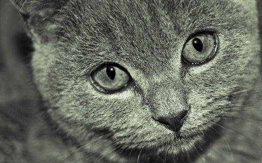 Обои Британский кот с печальными глазами