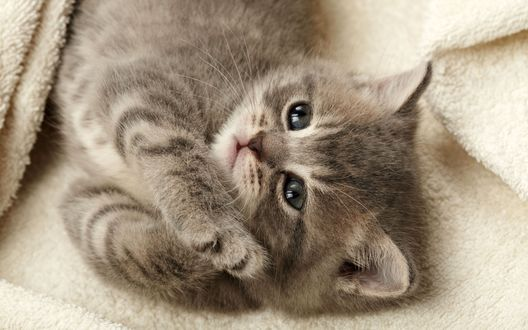 Обои Маленький котёнок лежит в белом, махровом полотенце