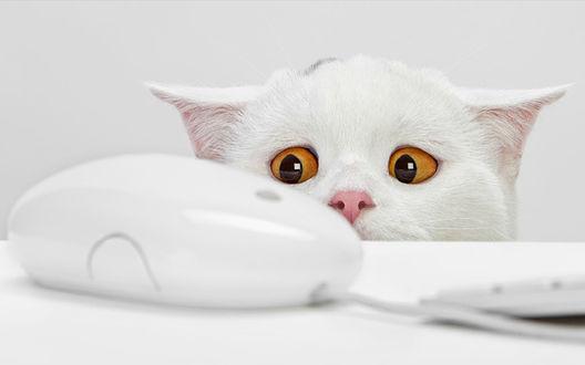 Обои Кот смотрит на компьютерную мышь