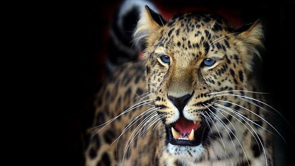 Обои Леопард с голубыми глазами открыл рот