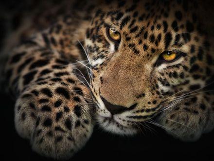 Обои Мудрые глаза леопарда