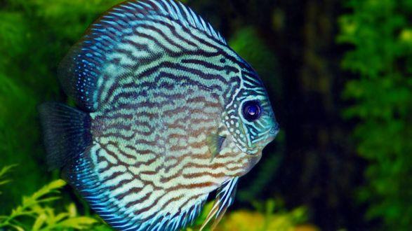 Обои Дискус голубого цвета  в аквариуме