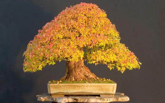 Обои Искусство бонсая - карликовый клён, осенний листопад