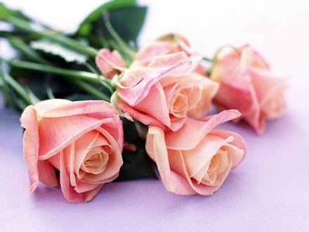 Обои Розовые розы лежат на белой поверхности