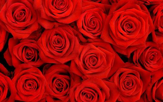 Обои Яркий букет  красных роз