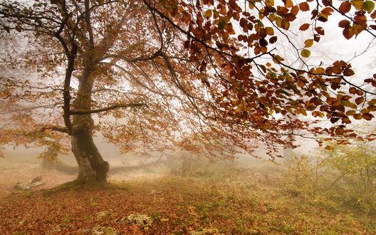 Обои Одинокое дерево с осенними листочками стоит в тумане
