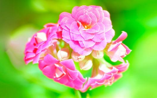 Обои Розовый  каланхоэ