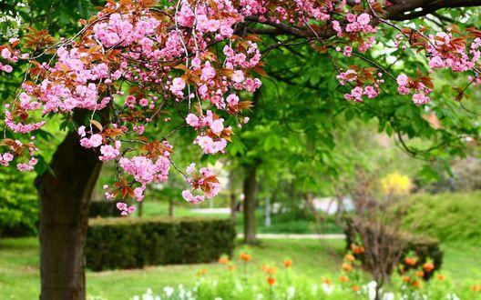 Обои Цветущий персик в саду