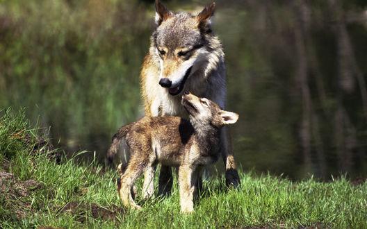 Обои Волчица с волчонком