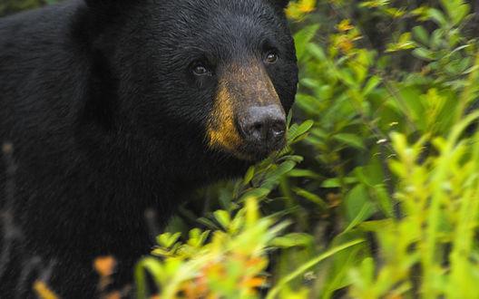 Обои Бурый медведь