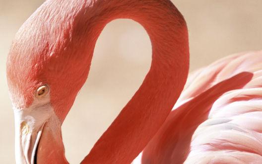 Обои Фламинго с красиво изогнутой шеей