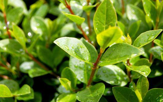 Обои Капли на молодых зеленых листиках