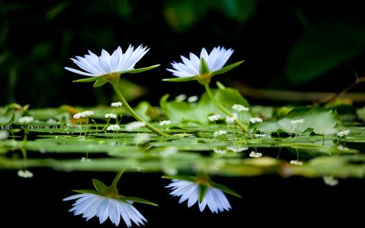 Обои Белые лилии на озере