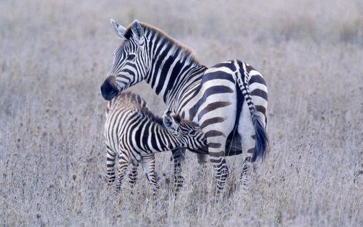 Обои Зебра кормит дитёныша