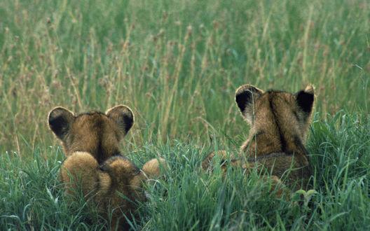 Обои Львята учатся охотиться