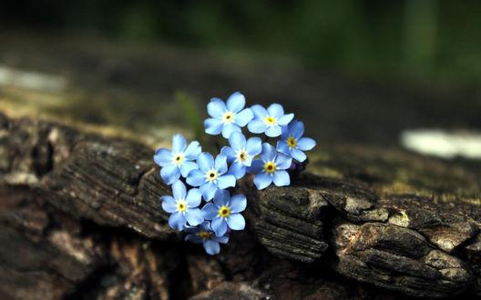 Обои Нежные синие незабудки растут из бревна
