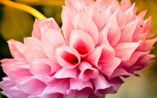 Обои Розовая хризантема