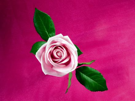 Обои Нежная роза на ярком фоне