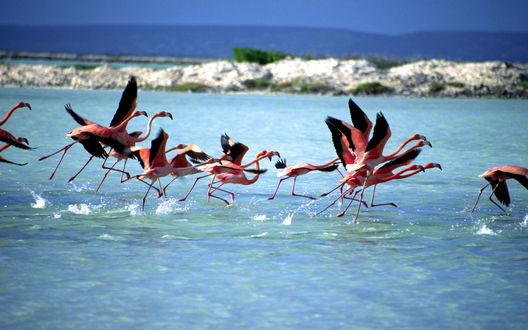 Обои Стайка фламинго испуганно улетает