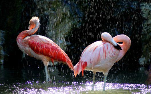 Обои Розовые фламинго под дождём
