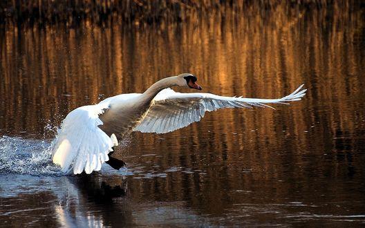 Обои Лебедь взмахивает крыльями, взлетая