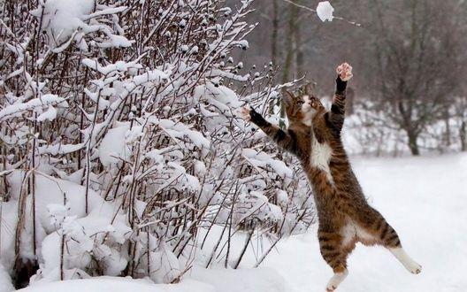 Обои Кот радуется зиме, снегу, солнце или кот, играющий в снежки