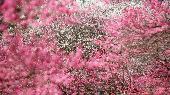 Обои Цветущие сады, персики и вишни