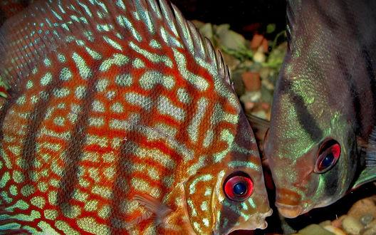Обои Дискусы ищут корм на дне аквариума