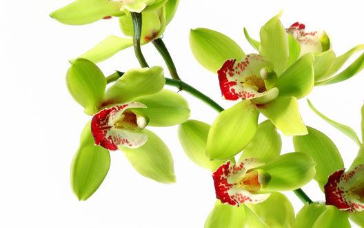 Обои Пёстрые цветки орхидеи на белом фоне