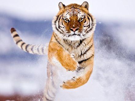 Обои Красивый тигр бежит по снегу