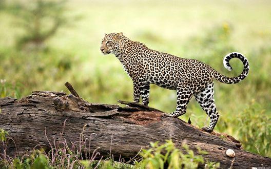Обои Молодой леопард стоит на бревне
