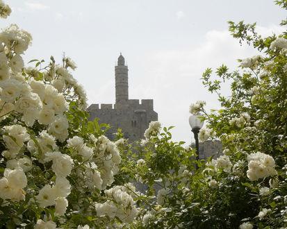 Обои Кусты белых роз