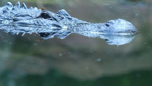 Обои Крокодил маскируется под корягу