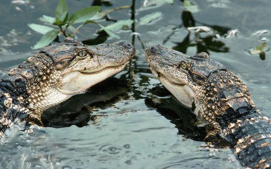 Обои Парочка крокодилов явно рада знакомству
