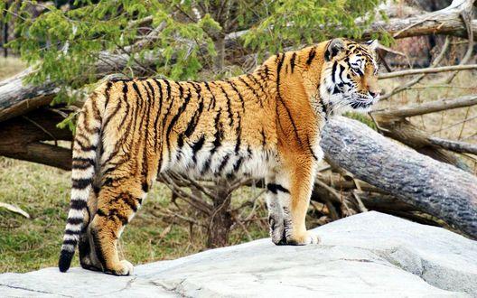 Обои Тигр стоит на камне смотря в даль