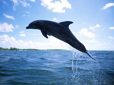 Обои Прыжок дельфина над водой
