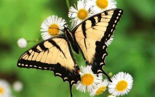 Обои Бабочка махаон сидит на ромашках