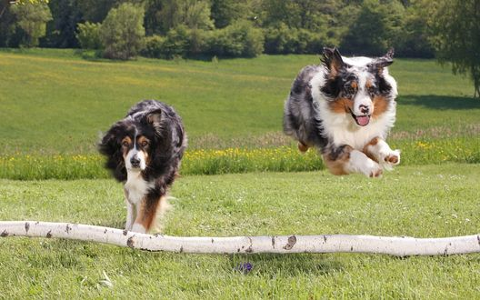 Обои Колли прыгают через палку
