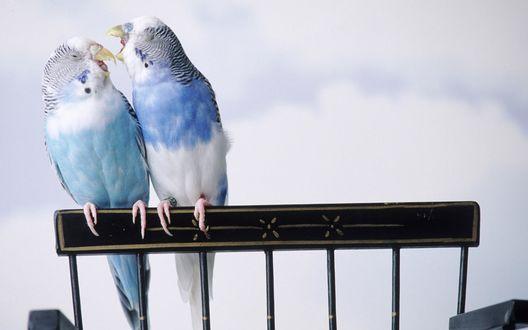 Обои Общение волнистых попугаев