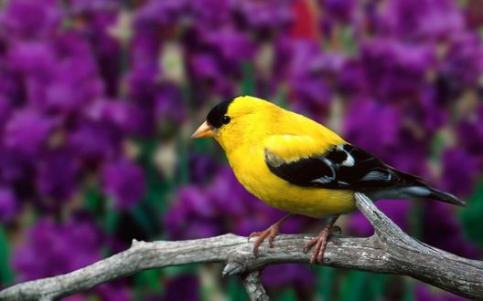 Обои Желтый щегол сидит на ветке сухого дерева