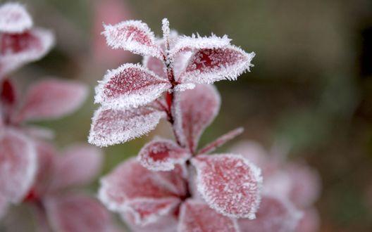Обои Красное растение покрыто мелким снегом