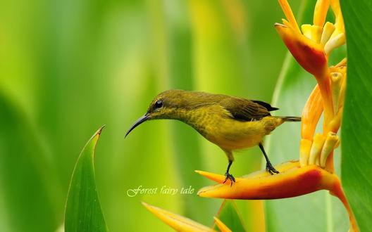 Обои Райская птица / Bird of Paradise на ярко-оранжевом цветке
