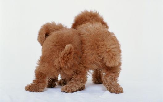 Обои Два пушистых щенка стоят, повернувшись попками к камере
