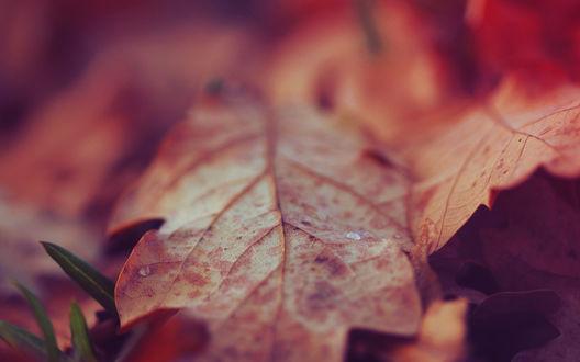 Обои Капля росы на осенних листьях